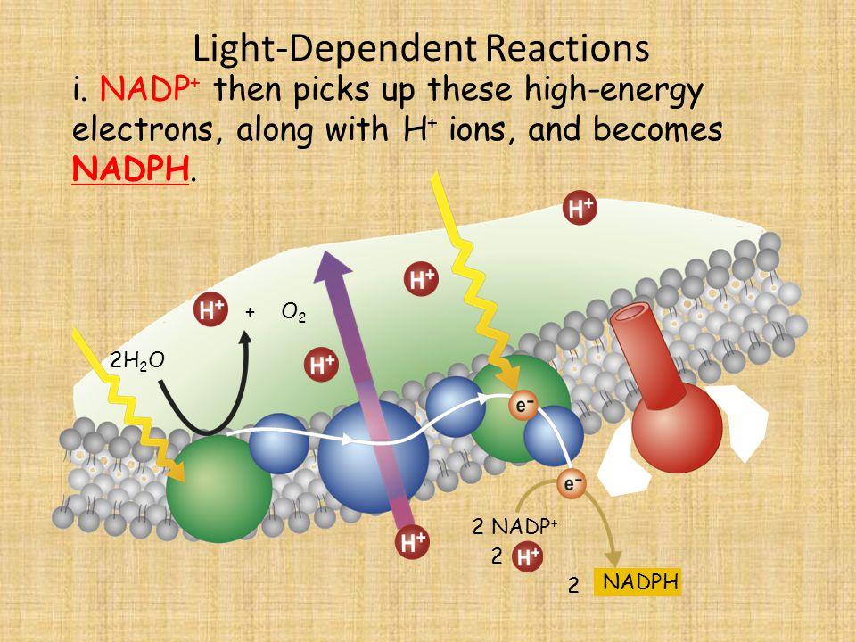 Light-Dependent Reactions 2H 2 O i.