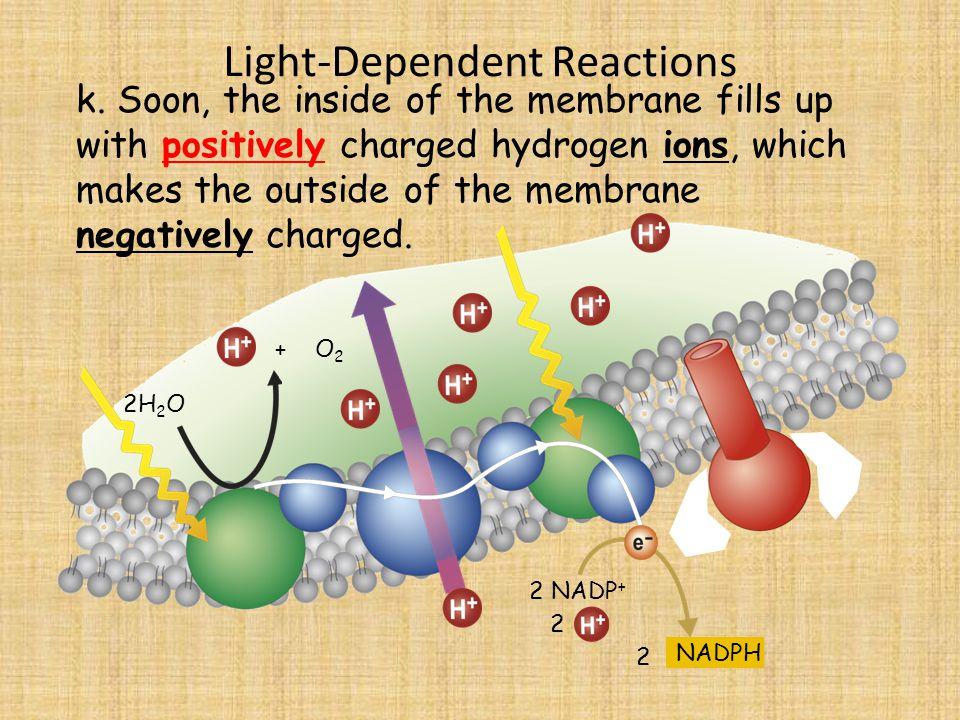 Light-Dependent Reactions 2H 2 O k.