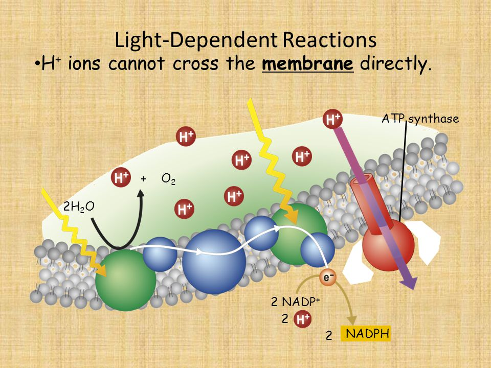 Light-Dependent Reactions 2H 2 O H + ions cannot cross the membrane directly.