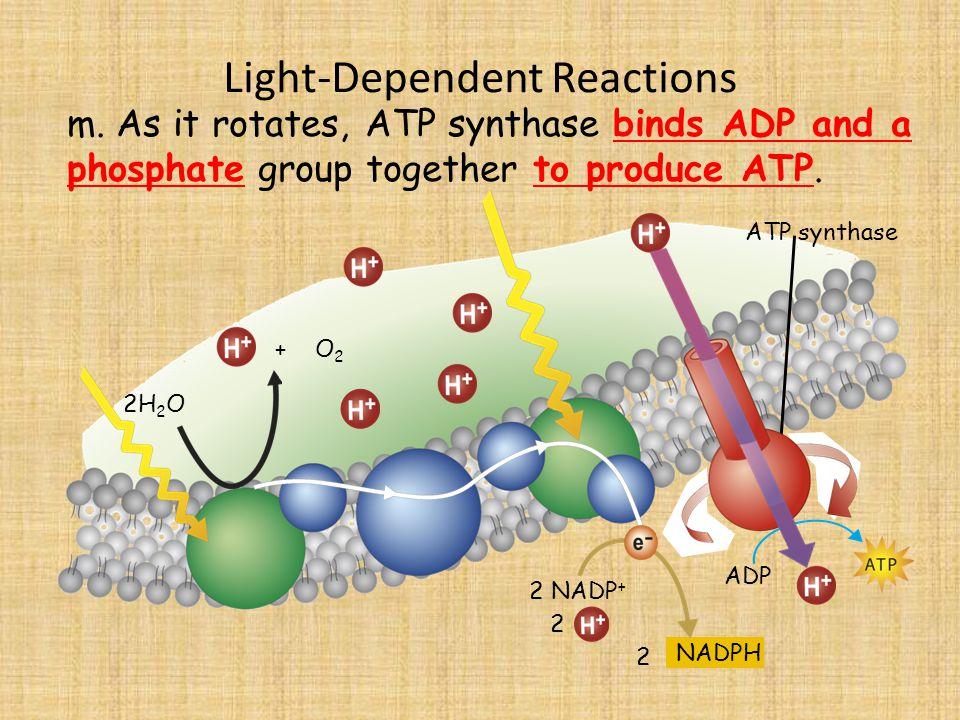 Light-Dependent Reactions 2H 2 O m.