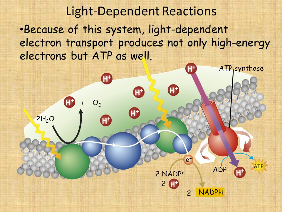 Light-Dependent Reactions 2H 2 O Because of this system, light-dependent electron transport produces not only high-energy electrons but ATP as well.