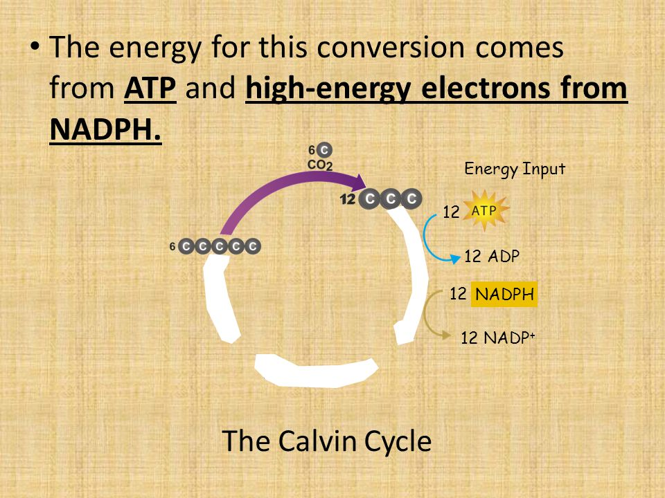 The Calvin Cycle The energy for this conversion comes from ATP and high-energy electrons from NADPH.