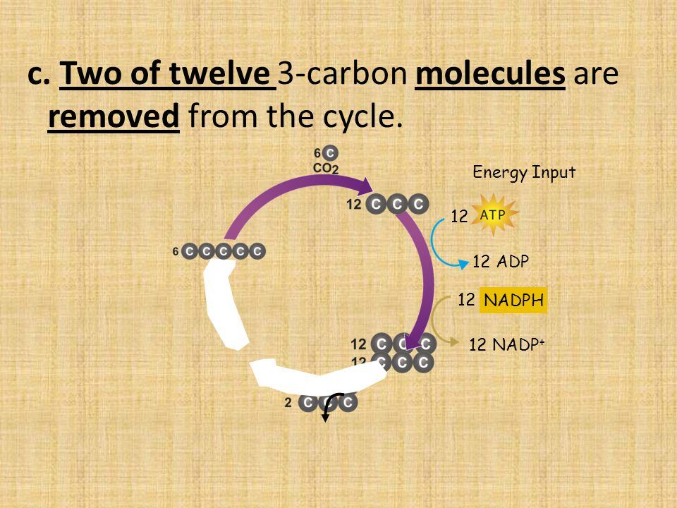 c.Two of twelve 3-carbon molecules are removed from the cycle.