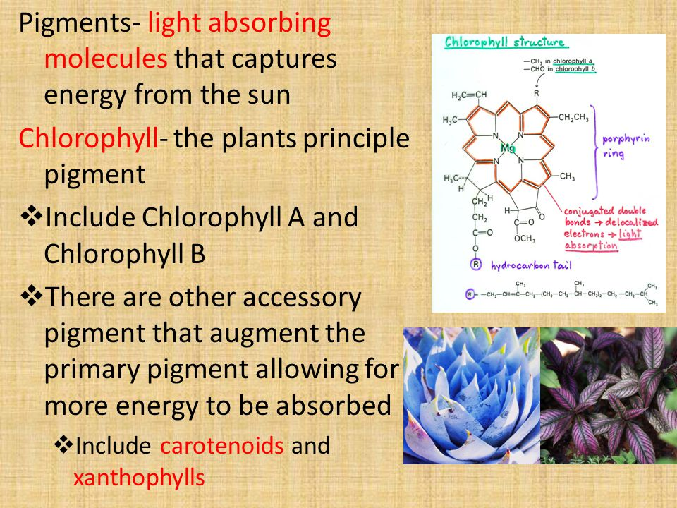 Pigments- light absorbing molecules that captures energy from the sun Chlorophyll- the plants principle pigment  Include Chlorophyll A and Chlorophyll B  There are other accessory pigment that augment the primary pigment allowing for more energy to be absorbed  Include carotenoids and xanthophylls