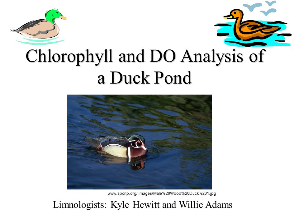 Chlorophyll and DO Analysis of a Duck Pond Limnologists: Kyle Hewitt and Willie Adams www.spcnp.org/ images/Male%20Wood%20Duck%201.jpg