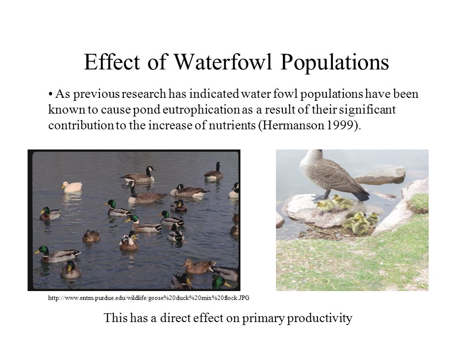 Effect of Waterfowl Populations As previous research has indicated water fowl populations have been known to cause pond eutrophication as a result of their significant contribution to the increase of nutrients (Hermanson 1999).