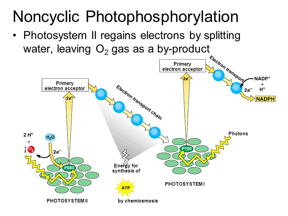 Primary electron acceptor Electron transport chain Electron transport Photons PHOTOSYSTEM I PHOTOSYSTEM II Energy for synthesis of by chemiosmosis Non