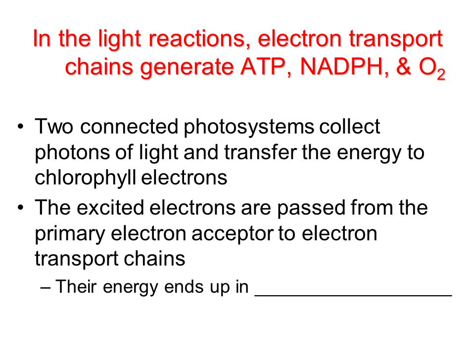 Two connected photosystems collect photons of light and transfer the energy to chlorophyll electrons The excited electrons are passed from the primary