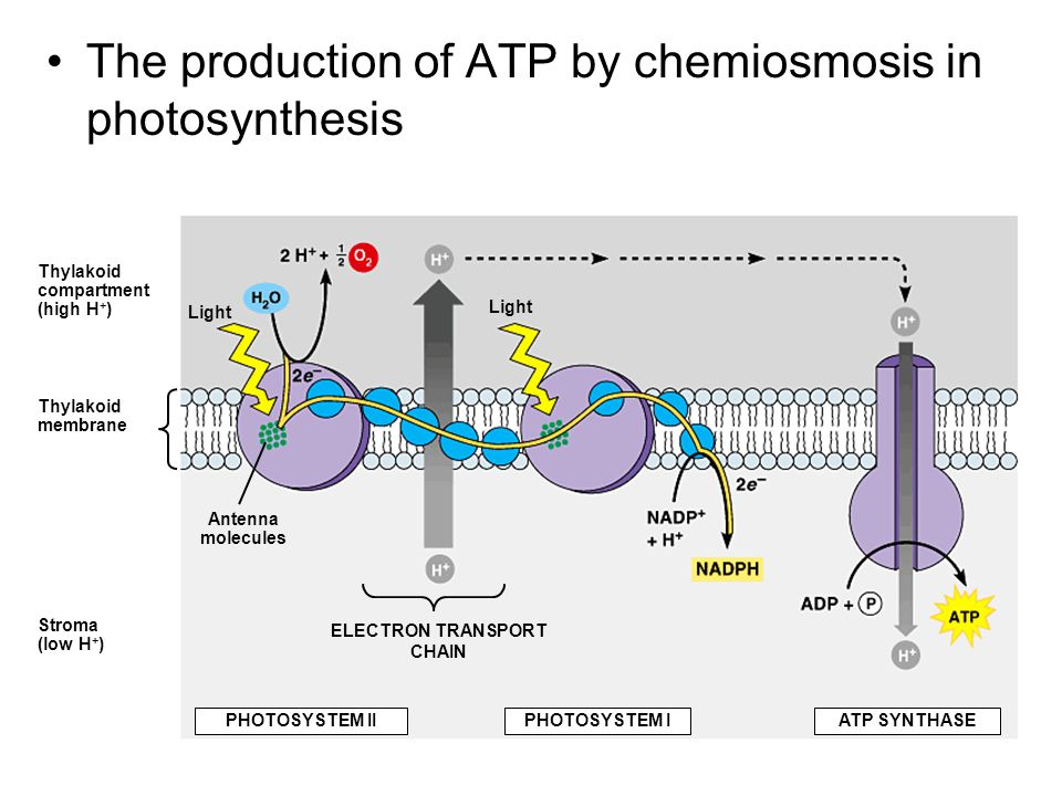The production of ATP by chemiosmosis in photosynthesis Thylakoid compartment (high H + ) Thylakoid membrane Stroma (low H + ) Light Antenna molecules Light ELECTRON TRANSPORT CHAIN PHOTOSYSTEM IIPHOTOSYSTEM IATP SYNTHASE