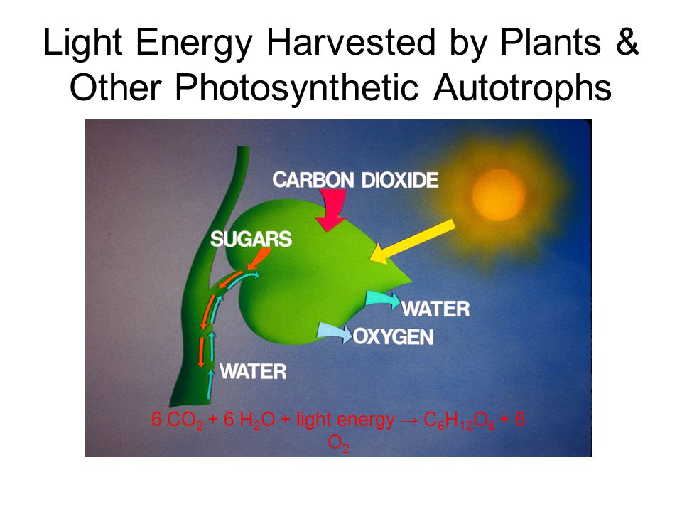 Primary electron acceptor Electron transport chain Electron transport Photons PHOTOSYSTEM I PHOTOSYSTEM II Energy for synthesis of by chemiosmosis Noncyclic Photophosphorylation Photosystem II regains electrons by splitting water, leaving O 2 gas as a by-product