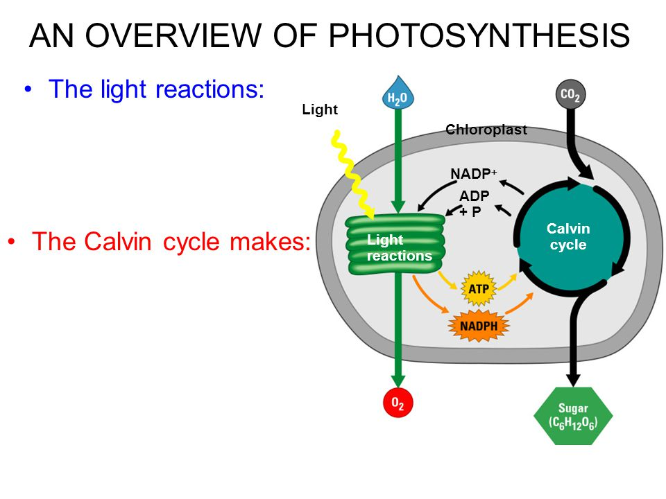 Two connected photosystems collect photons of light and transfer the energy to chlorophyll electrons The excited electrons are passed from the primary electron acceptor to electron transport chains –Their energy ends up in ___________________ In the light reactions, electron transport chains generate ATP, NADPH, & O 2