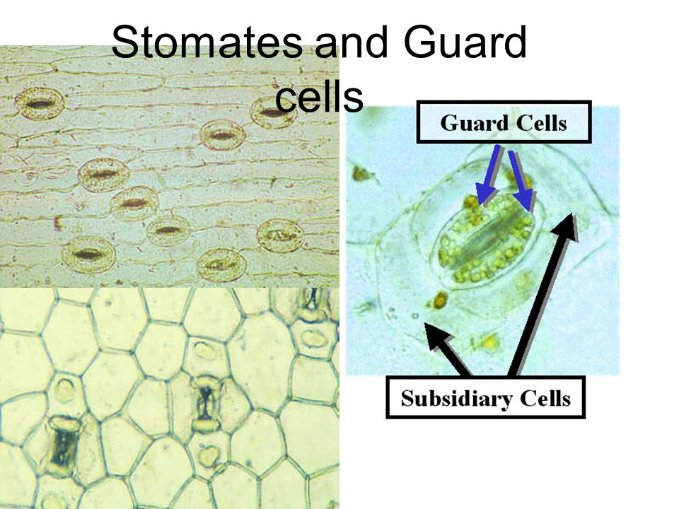 Stomates and Guard cells