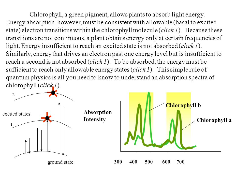 Chlorophyll, a green pigment, allows plants to absorb light energy. Energy absorption, however, must be consistent with allowable (basal to excited st