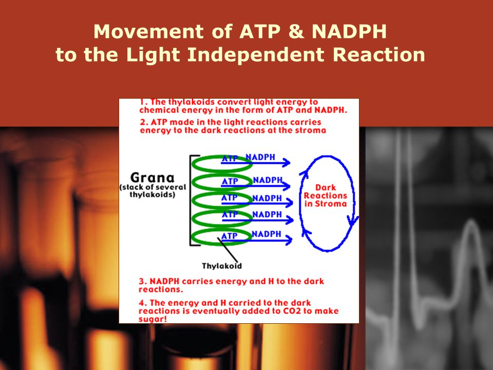 Movement of ATP & NADPH to the Light Independent Reaction
