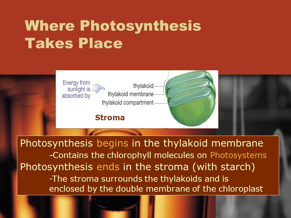 Where Photosynthesis Takes Place Photosynthesis begins in the thylakoid membrane - Contains the chlorophyll molecules on Photosystems Photosynthesis ends in the stroma (with starch) -The stroma surrounds the thylakoids and is enclosed by the double membrane of the chloroplast Stroma