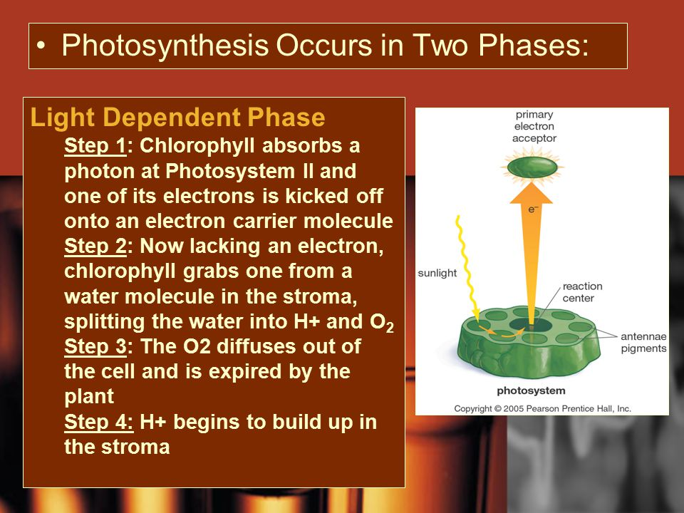 Photosynthesis Occurs in Two Phases: Light Dependent Phase Step 1: Chlorophyll absorbs a photon at Photosystem II and one of its electrons is kicked off onto an electron carrier molecule Step 2: Now lacking an electron, chlorophyll grabs one from a water molecule in the stroma, splitting the water into H+ and O 2 Step 3: The O2 diffuses out of the cell and is expired by the plant Step 4: H+ begins to build up in the stroma