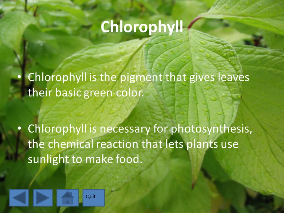 Carotenoids Carotenoids are the pigments that produce yellow, orange, and brown colors in the leaves.