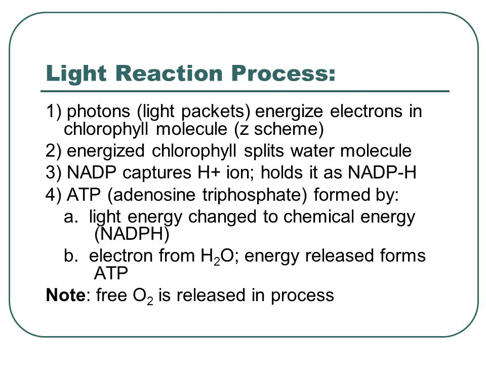Light Reaction Process: 1) photons (light packets) energize electrons in chlorophyll molecule (z scheme) 2) energized chlorophyll splits water molecule 3) NADP captures H+ ion; holds it as NADP-H 4) ATP (adenosine triphosphate) formed by: a.