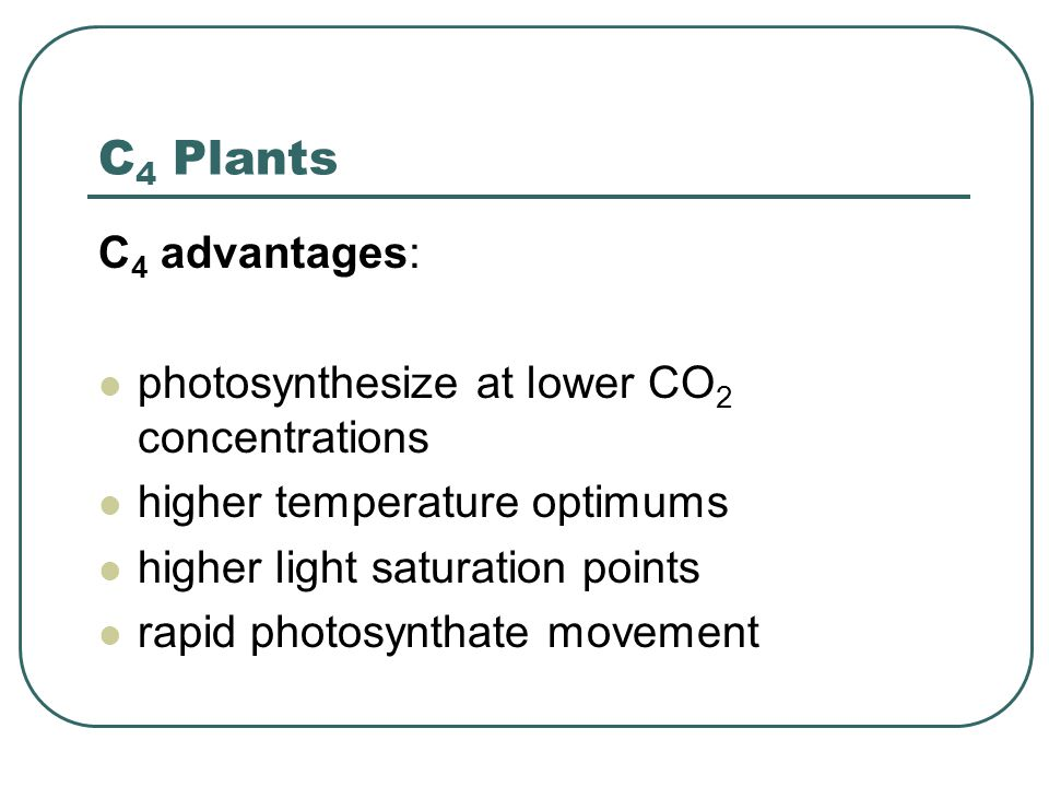 C 4 Plants C 4 advantages: photosynthesize at lower CO 2 concentrations higher temperature optimums higher light saturation points rapid photosynthate movement