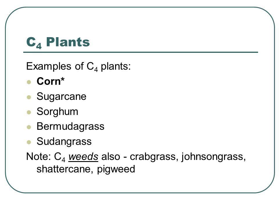 C 4 Plants Examples of C 4 plants: Corn* Sugarcane Sorghum Bermudagrass Sudangrass Note: C 4 weeds also - crabgrass, johnsongrass, shattercane, pigweed