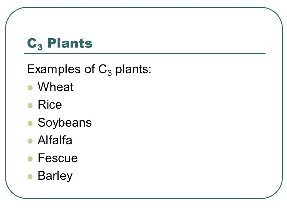C 3 Plants Examples of C 3 plants: Wheat Rice Soybeans Alfalfa Fescue Barley