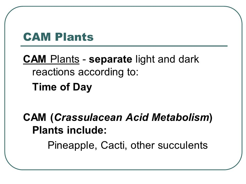 CAM Plants CAM Plants - separate light and dark reactions according to: Time of Day CAM (Crassulacean Acid Metabolism) Plants include: Pineapple, Cacti, other succulents