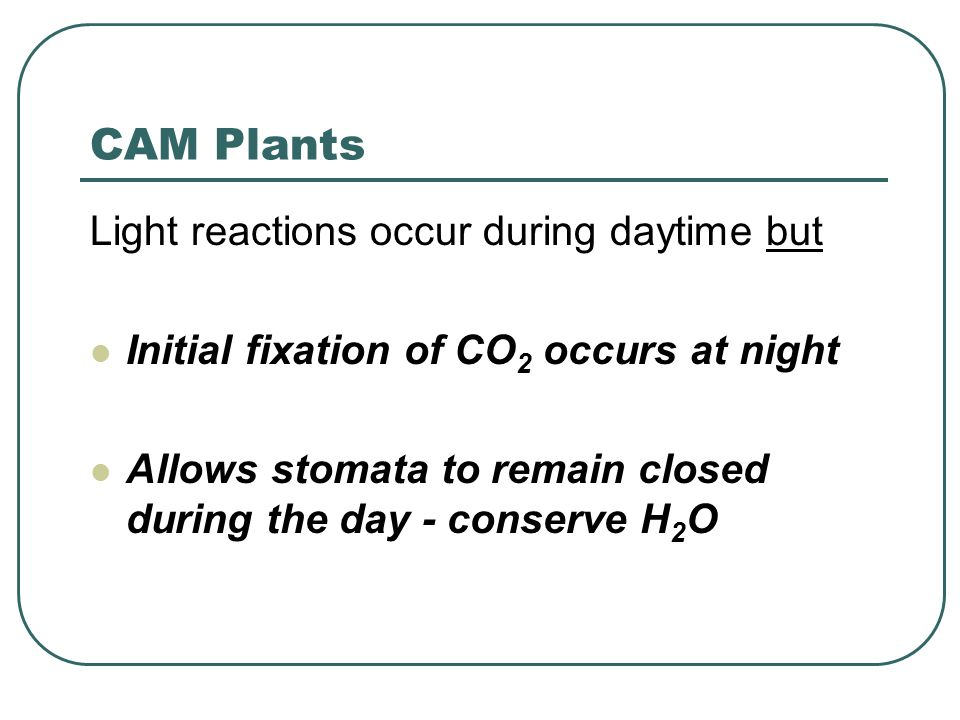 CAM Plants Light reactions occur during daytime but Initial fixation of CO 2 occurs at night Allows stomata to remain closed during the day - conserve H 2 O
