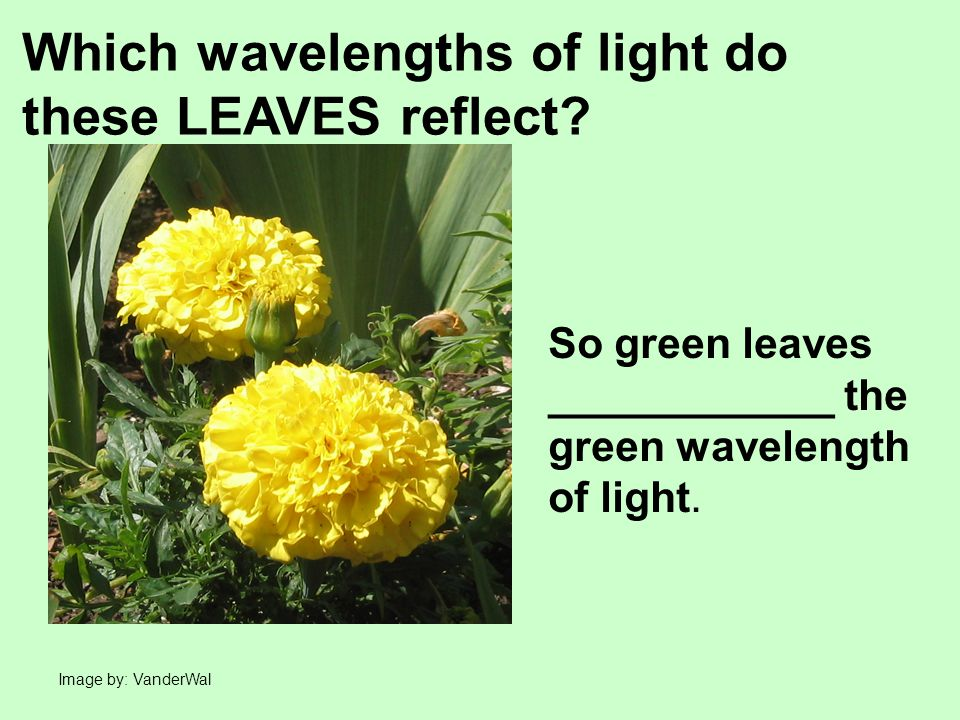Image by: VanderWal Which wavelengths of light do these LEAVES reflect.
