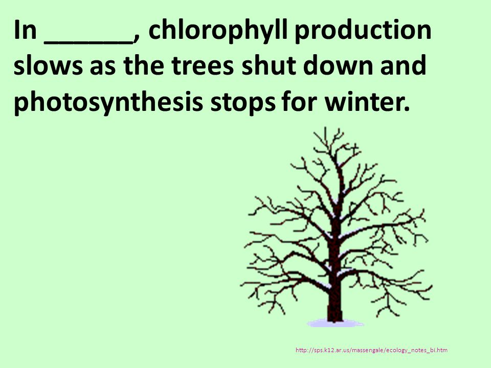 In ______, chlorophyll production slows as the trees shut down and photosynthesis stops for winter.