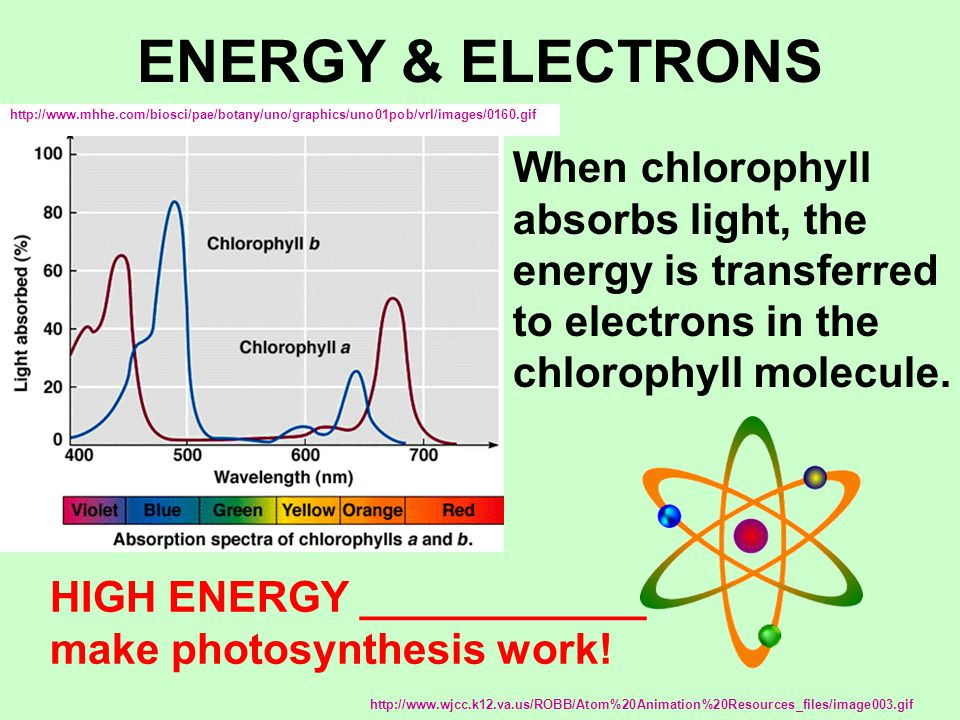 ENERGY & ELECTRONS When chlorophyll absorbs light, the energy is transferred to electrons in the chlorophyll molecule.