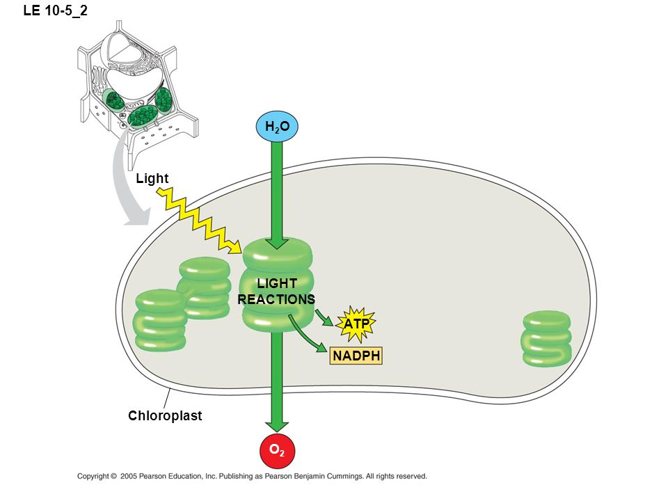 LE 10-5_2 H2OH2O LIGHT REACTIONS Chloroplast Light ATP NADPH O2O2