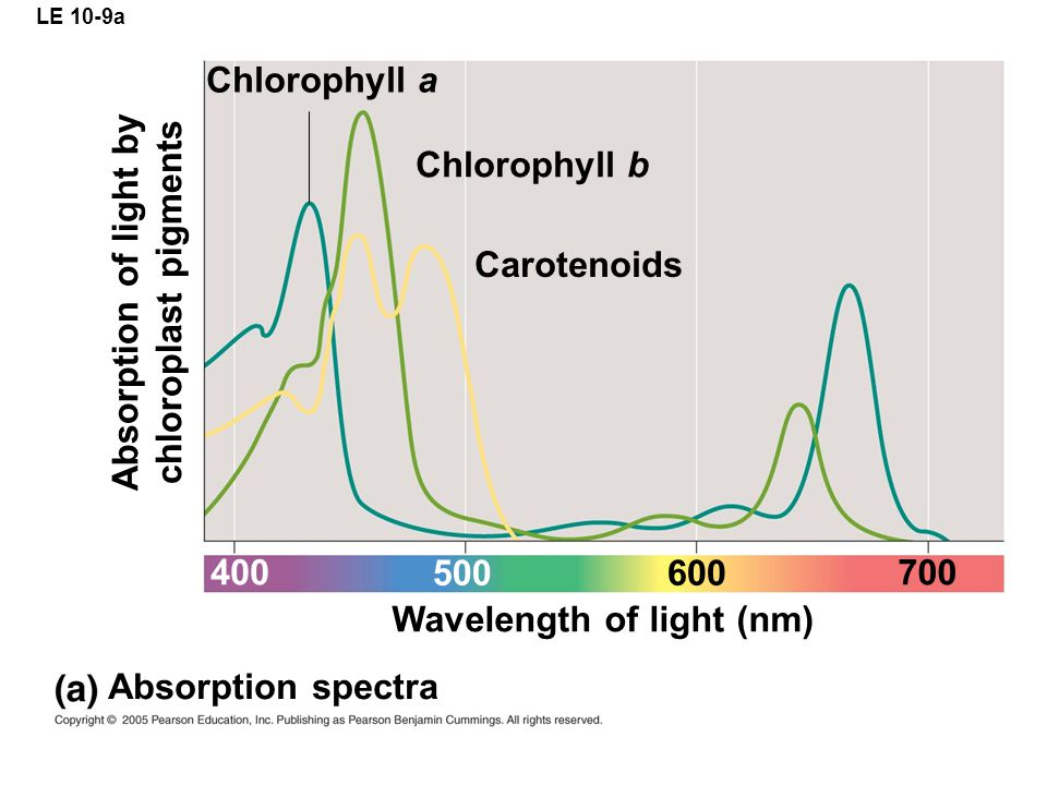 LE 10-9a Chlorophyll a Chlorophyll b Carotenoids Wavelength of light (nm) Absorption spectra Absorption of light by chloroplast pigments 400 500600 700