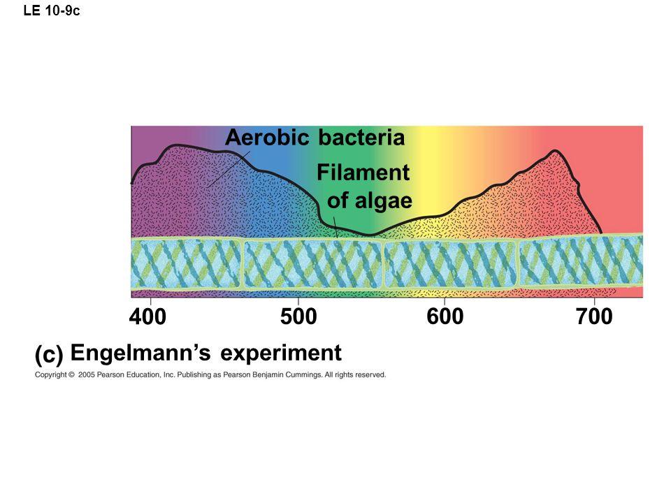 LE 10-9c Engelmann's experiment 400 500 600 700 Aerobic bacteria Filament of algae
