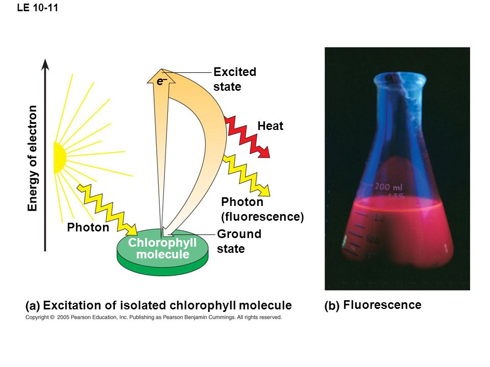 LE 10-11 Excited state Heat Photon (fluorescence) Ground state Chlorophyll molecule Photon Excitation of isolated chlorophyll molecule Fluorescence Energy of electron e–e–