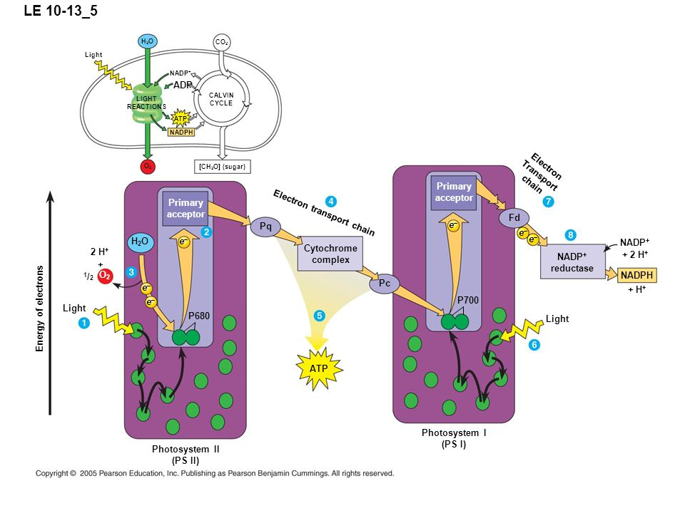LE 10-13_5 Light P680 e–e– Photosystem II (PS II) Primary acceptor [CH 2 O] (sugar) NADPH ATP ADP CALVIN CYCLE LIGHT REACTIONS NADP + Light H2OH2O CO 2 Energy of electrons O2O2 e–e– e–e– + 2 H + H2OH2O O2O2 1/21/2 Pq Cytochrome complex Electron transport chain Pc ATP P700 e–e– Primary acceptor Photosystem I (PS I) e–e– e–e– Electron Transport chain NADP + reductase Fd NADP + NADPH + H + + 2 H + Light