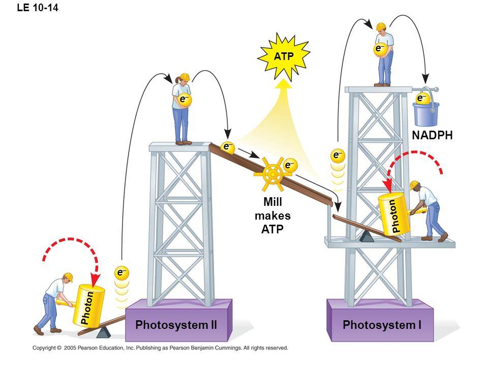 LE 10-14 ATP Photosystem II e–e– e–e– e–e– e–e– Mill makes ATP e–e– e–e– e–e– Photon Photosystem I Photon NADPH