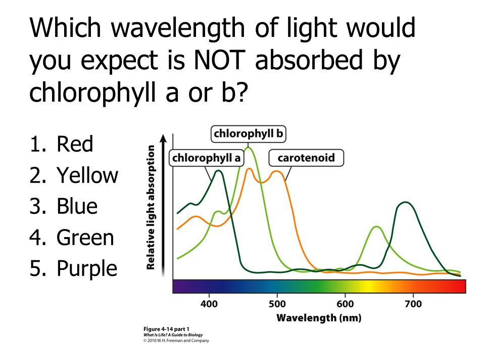 Which wavelength of light would you expect is NOT absorbed by chlorophyll a or b? 1.Red 2.Yellow 3.Blue 4.Green 5.Purple