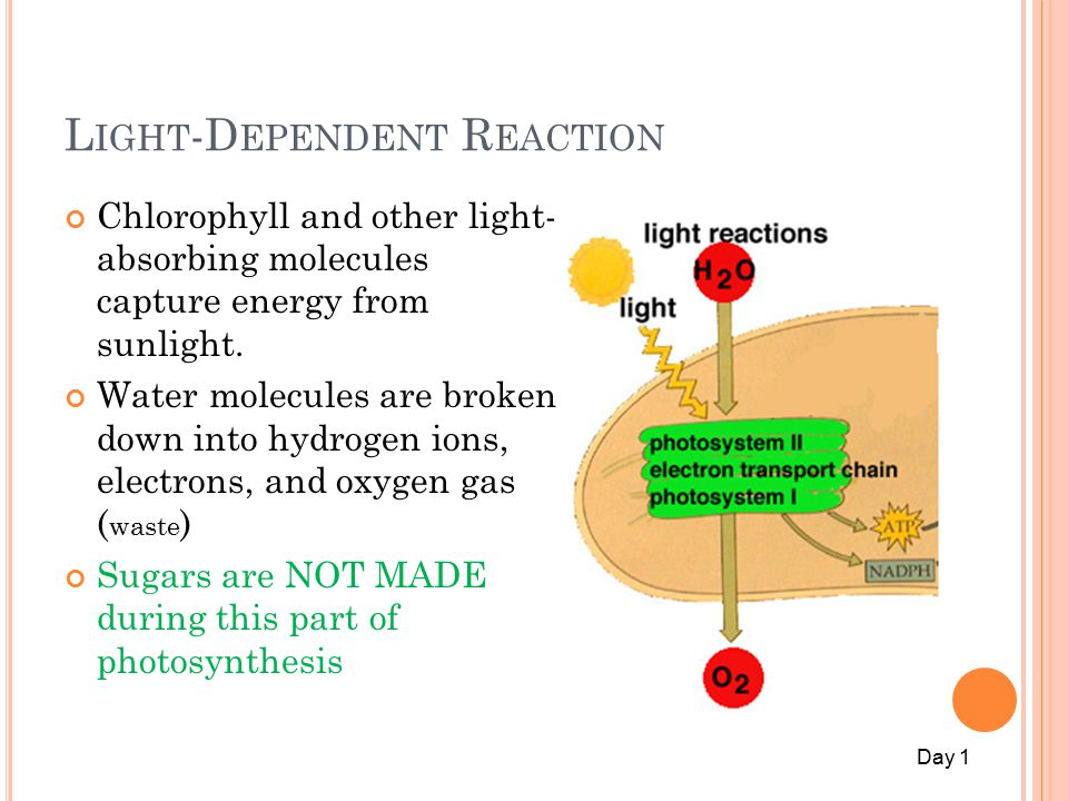 L IGHT -D EPENDENT R EACTION Chlorophyll and other light- absorbing molecules capture energy from sunlight.