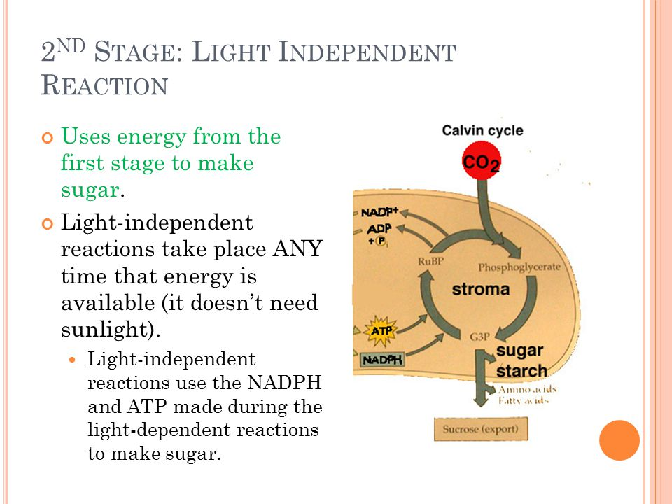 2 ND S TAGE : L IGHT I NDEPENDENT R EACTION Uses energy from the first stage to make sugar.