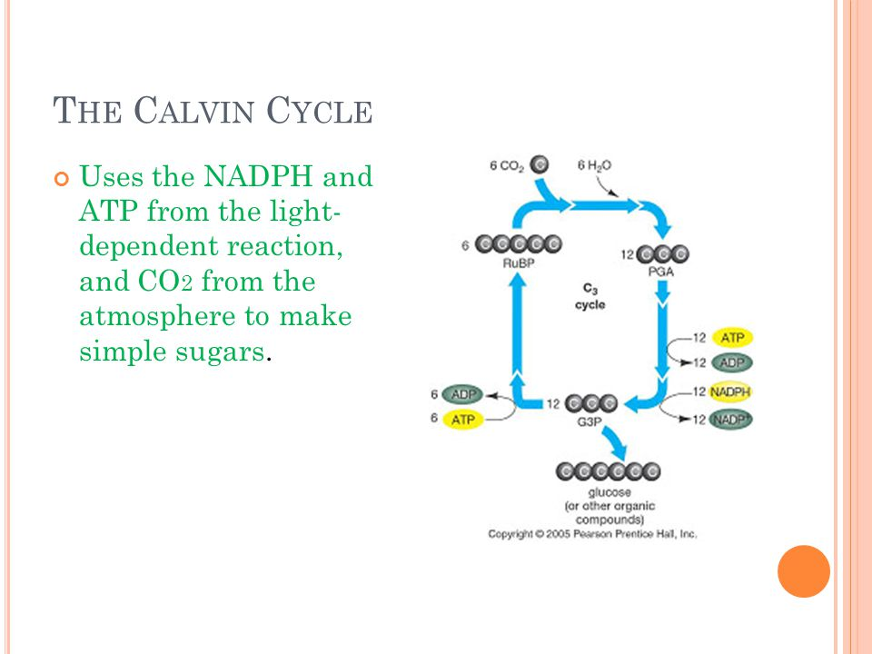 T HE C ALVIN C YCLE Uses the NADPH and ATP from the light- dependent reaction, and CO 2 from the atmosphere to make simple sugars.