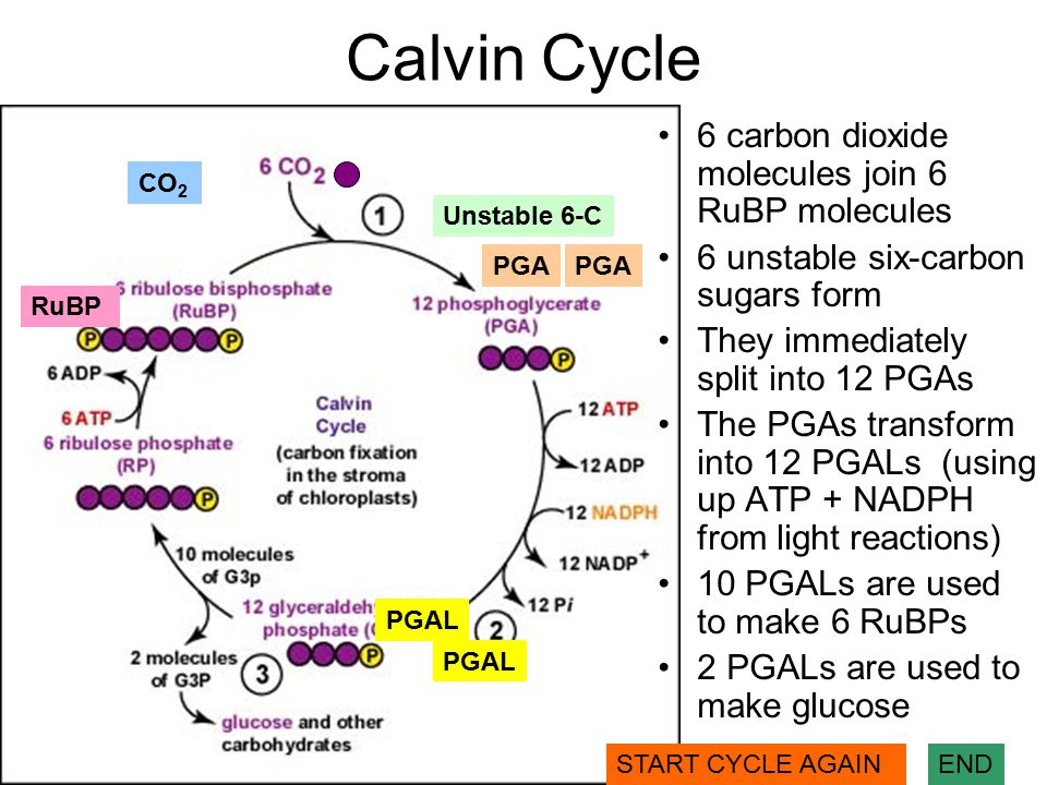 Calvin Cycle 6 carbon dioxide molecules join 6 RuBP molecules 6 unstable six-carbon sugars form They immediately split into 12 PGAs The PGAs transform into 12 PGALs (using up ATP + NADPH from light reactions) 10 PGALs are used to make 6 RuBPs 2 PGALs are used to make glucose RuBP CO 2 Unstable 6-C PGA PGAL START CYCLE AGAINEND
