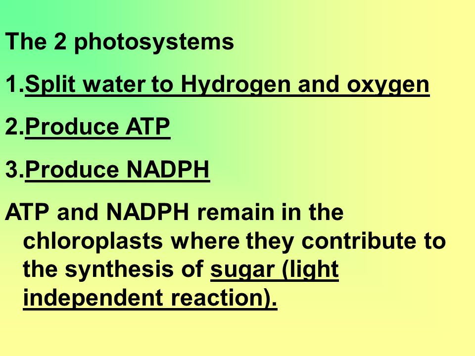 The 2 photosystems 1.Split water to Hydrogen and oxygen 2.Produce ATP 3.Produce NADPH ATP and NADPH remain in the chloroplasts where they contribute to the synthesis of sugar (light independent reaction).