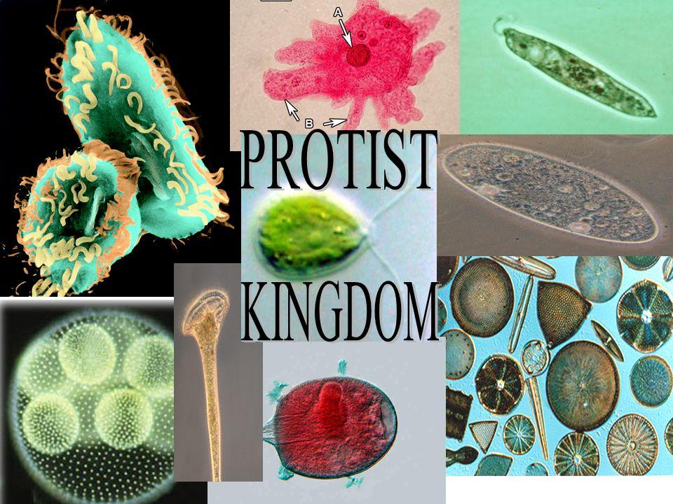 2.Plant –like protists (Algae).