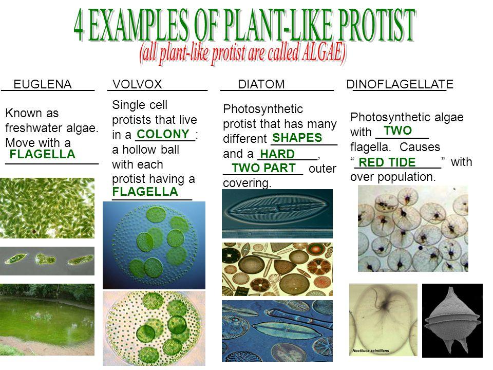 EUGLENA VOLVOX DIATOM DINOFLAGELLATE FLAGELLA ______________ _______________ _________________ ______________ Known as freshwater algae. Move with a _