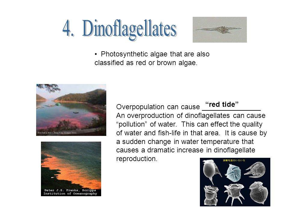Photosynthetic algae that are also classified as red or brown algae. Overpopulation can cause _______________ An overproduction of dinoflagellates can