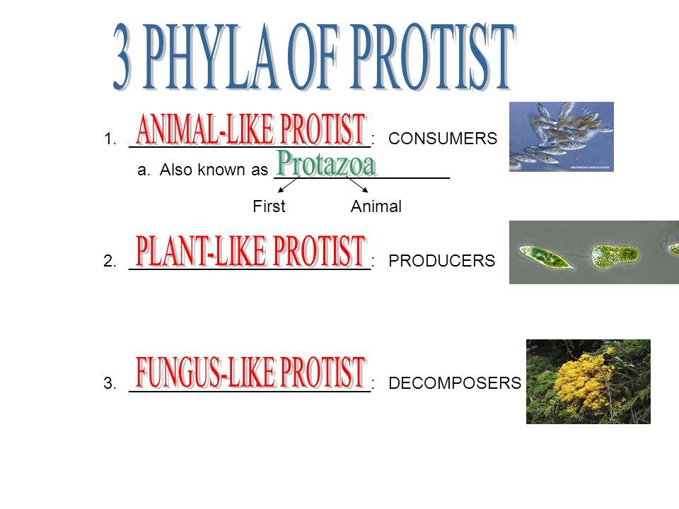 1.Name the three main groups within the kingdom Protista.