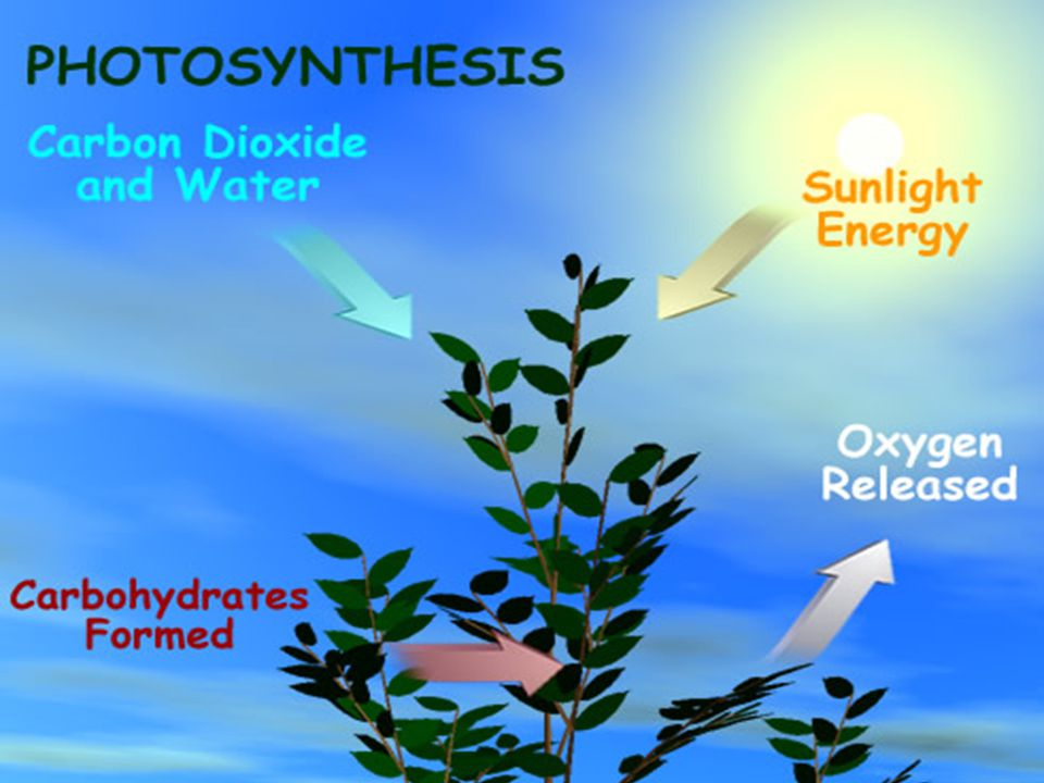 Photosynthesis: Stage 1 Absorption of Light Energy Absorption of Light Energy The excited electrons that leave chlorophyll molecules must be replaced by other electrons.