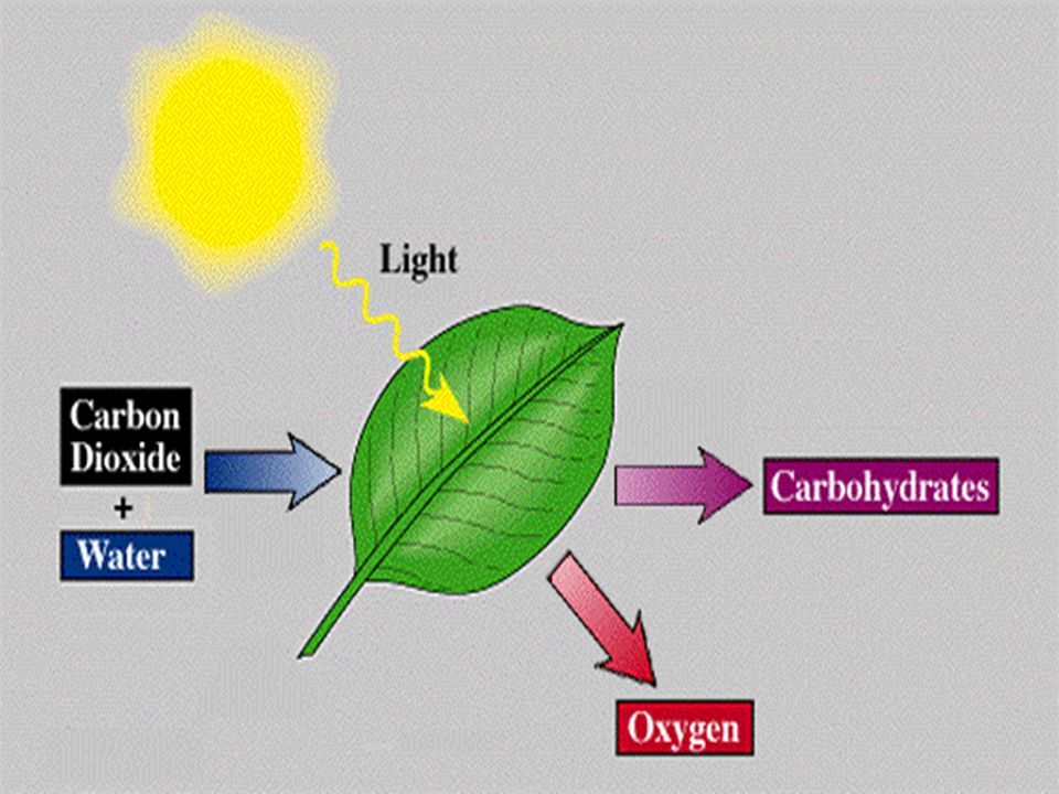 Breaking Down Food For Energy Autotrophs are organisms that use energy from sunlight or from chemical bonds in inorganic substances to make organic compounds.