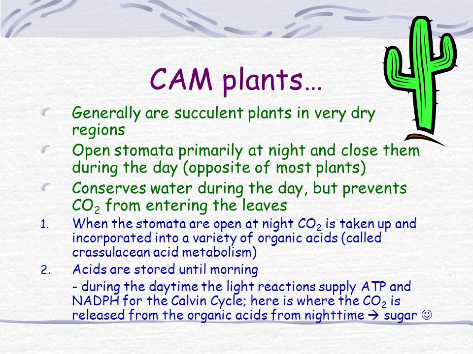 CAM plants… Generally are succulent plants in very dry regions Open stomata primarily at night and close them during the day (opposite of most plants)