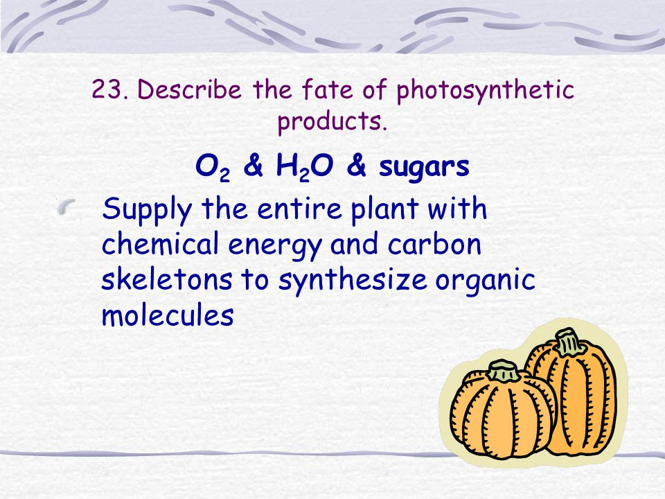 23. Describe the fate of photosynthetic products. O 2 & H 2 O & sugars Supply the entire plant with chemical energy and carbon skeletons to synthesize
